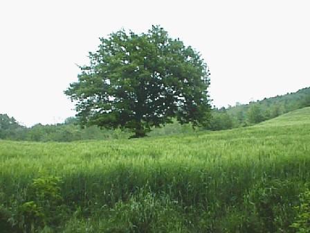 Erboristeria schede q for Quercia sempreverde